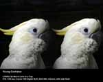 Young Cockatoo