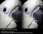 Cockatoo - Don't come any closer!
