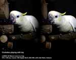 Cockatoo playing with toy